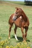 Красивый пони welsh на pasturage Стоковое фото RF