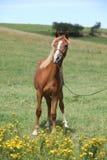 Красивый пони welsh на pasturage Стоковое Изображение
