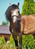 Красивый пони welsh лосиной кожи Стоковые Изображения RF