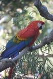 Красивый попугай ары шарлаха сидя на ветви Стоковое Изображение