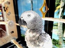 Красивый попугай африканского серого цвета твари Стоковые Фотографии RF