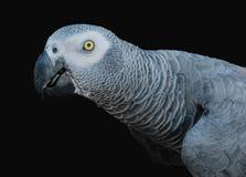 Красивый попугай на черной предпосылке Стоковая Фотография