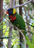 Красивый попугай птицы Стоковые Фотографии RF