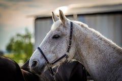 Красивый портрет белой лошади с черной уздечкой стоковые изображения rf