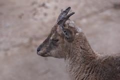 Красивый портрет козы Стоковые Фото