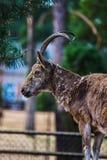 Красивый портрет козы Стоковые Изображения