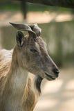 Красивый портрет козы Стоковые Изображения RF