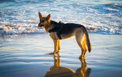 Красивый портрет молодой немецкой собаки shepard идя на берег моря на пляже на заходе солнца стоковые фото
