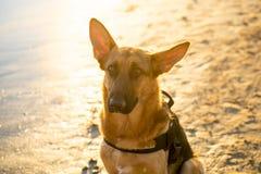 Красивый портрет молодой немецкой собаки shepard сидя на береге моря на пляже на заходе солнца стоковые фотографии rf