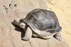 Красивый портрет огромной и достигшей возраста черепахи земли стоковое изображение rf