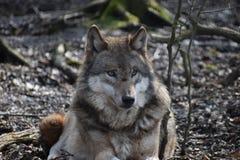 Красивый портрет одичалого волка в лесе в Германии Стоковая Фотография RF