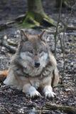 Красивый портрет одичалого волка в лесе в Германии Стоковая Фотография