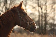 Красивый портрет лошади каштана в заходе солнца Стоковая Фотография RF