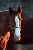 Красивый портрет лошади каштана Стоковые Фотографии RF