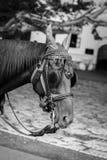 Красивый портрет лошади с маской стоковое изображение rf