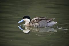 Красивый портрет птицы утки Puna Anas Teal Puna на воде внутри Стоковые Изображения