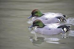 Красивый портрет птицы Falcata Anas утки Falcated на воде i Стоковое Фото