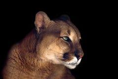 Красивый портрет пумы Стоковая Фотография