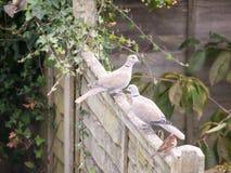 Красивый портрет сигнала collared голубя садился на насест на деревянной загородке Стоковые Изображения RF