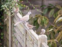 Красивый портрет сигнала collared голубя садился на насест на деревянной загородке Стоковая Фотография