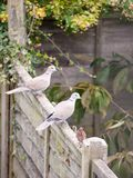 Красивый портрет сигнала collared голубя садился на насест на деревянной загородке Стоковое Изображение RF