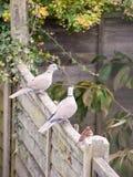 Красивый портрет сигнала collared голубя садился на насест на деревянной загородке Стоковая Фотография RF
