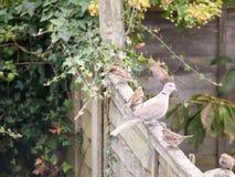 Красивый портрет сигнала collared голубя садился на насест на деревянной загородке Стоковое фото RF