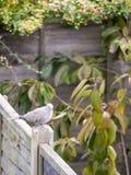 Красивый портрет сигнала collared голубя садился на насест на деревянной загородке Стоковое Фото