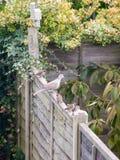 Красивый портрет сигнала collared голубя садился на насест на деревянной загородке Стоковые Фотографии RF