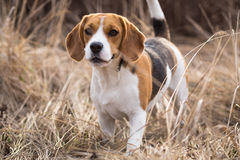 Красивый портрет собаки бигля outdoors Стоковые Фото