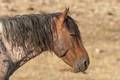 Красивый портрет стороны дикой лошади Стоковые Изображения