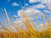 Красивый портрет травы болота Стоковые Фотографии RF
