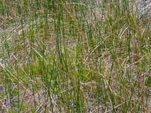 Красивый портрет травы болота Стоковое Изображение RF