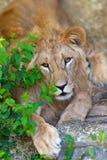 Красивый портрет льва стоковое фото rf