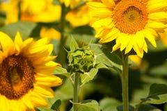 Красивый последний солнцецвет и расплывчатые солнцецветы на предпосылке стоковое фото
