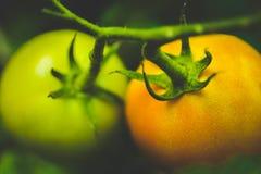 Красивый постепенно держите томат побежки стоковые фото