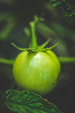 Красивый постепенно держите томат побежки стоковое изображение rf