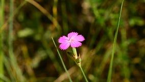 Красивый пошатывать цветка девичьего пинка нежно дунутый ветерком акции видеоматериалы
