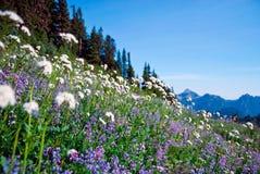 Красивый полевой цветок в национальном парке Mt более ненастном стоковые изображения rf