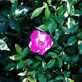 Красивый поднял на сады Чикаго ботанические Стоковые Изображения RF