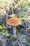 Красивый подосиновик гриба Стоковая Фотография RF