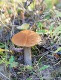 Красивый подосиновик гриба Стоковая Фотография