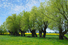 Красивый польский ландшафт с деревьями вербы Стоковые Изображения RF