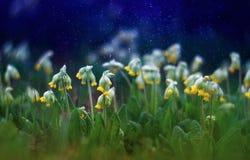 Красивый предыдущий свежий первоцвет цветков желтого цвета растет на gre весны Стоковое Изображение