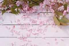 Красивый, предпосылка весны флористическая с цветками японской вишни зацветая Стоковое Изображение