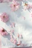 Красивый, предпосылка весны флористическая с цветками японской вишни зацветая Стоковая Фотография