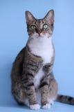 Красивый представлять кота Стоковая Фотография RF