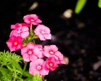 Красивый пук красно-розового сезона цветка лепестка весной на ботаническом саде Стоковое фото RF