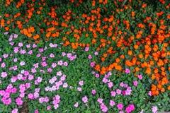 красивый пурпурный и красный цветок в саде стоковая фотография rf