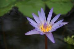 Красивый пурпурный цветок лотоса в пруде стоковые изображения rf